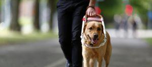 Foto lånat från SRFs webbplats. Ledarhundsförare med ljusbrun labrador i sele.